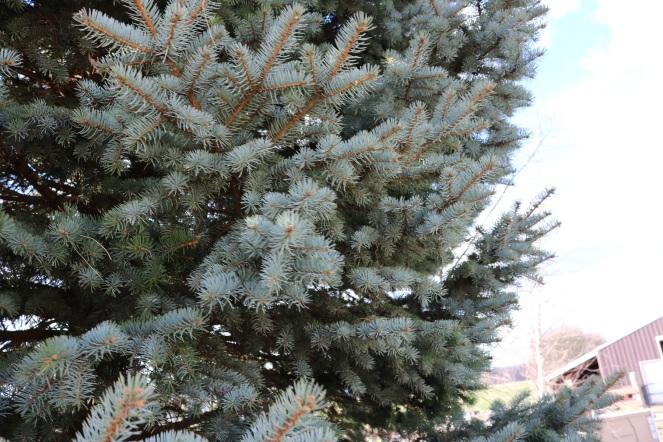 Day 9 pine tree